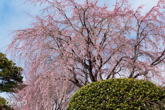 慈眼寺のしだれ桜