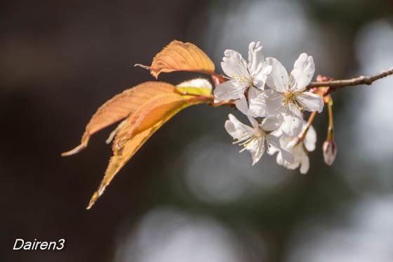 慈眼寺の山桜