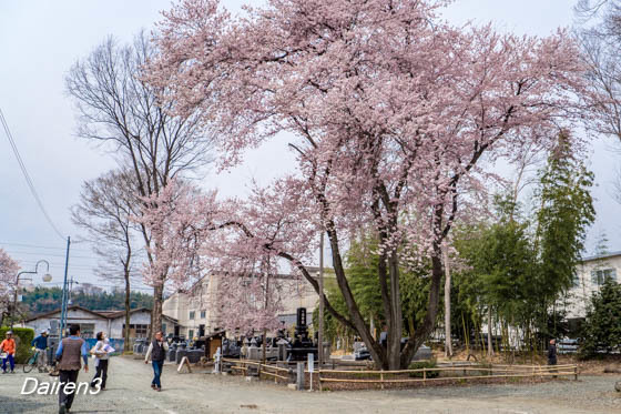 仁叟寺五輪桜