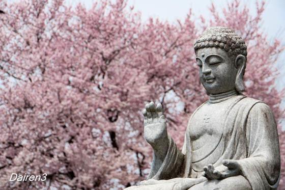 仁叟寺の桜