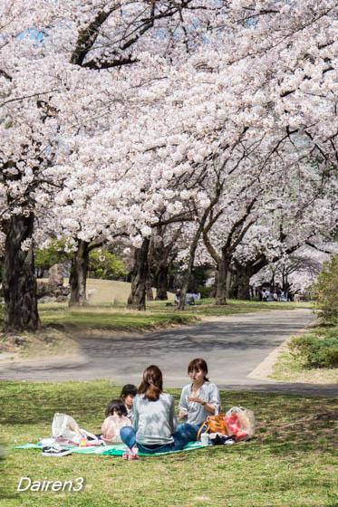 敷島公園の桜