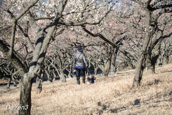 桐生南公園の梅