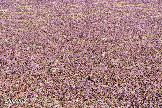 ホトケノザ絨毯