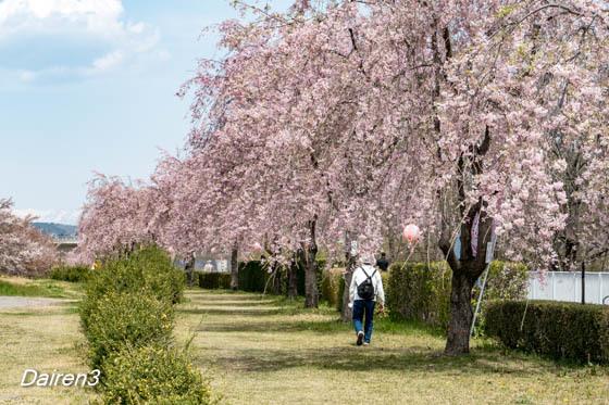 漆原しだれ桜