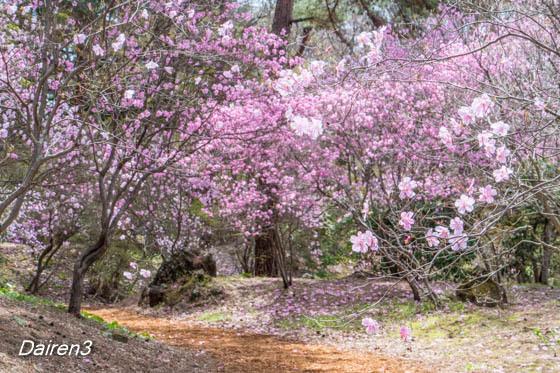 赤城自然園の花 アカヤシオ