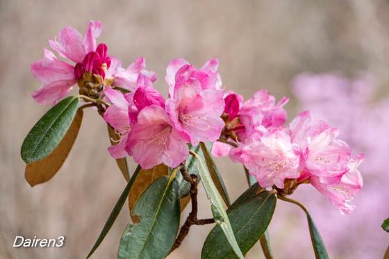 赤城自然園の花 シャクナゲ