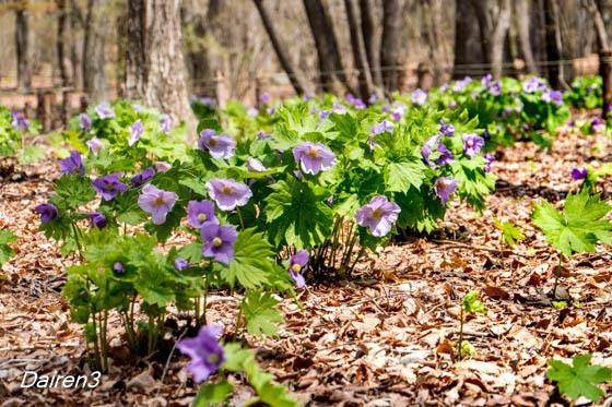 赤城自然園の花 シラネアオイ