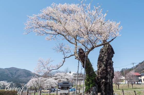 相俣のさかさ桜