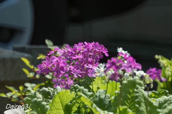 庭のサクラソウ
