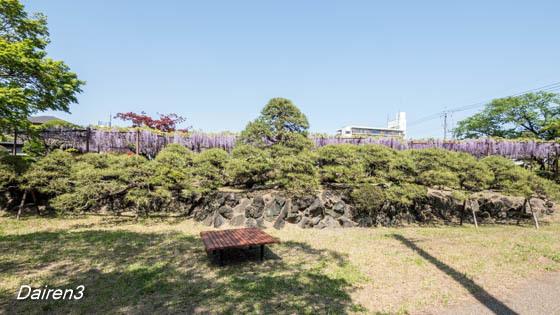 須賀の園五葉松