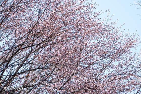 赤城中腹の山桜