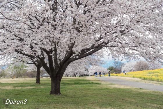 大室公園の桜