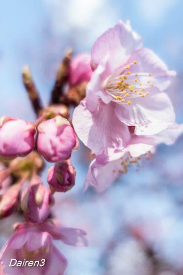 河津桜の開花