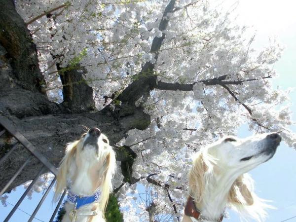 春山と里の桜28