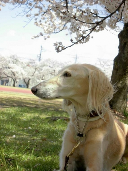 春山と里の桜30