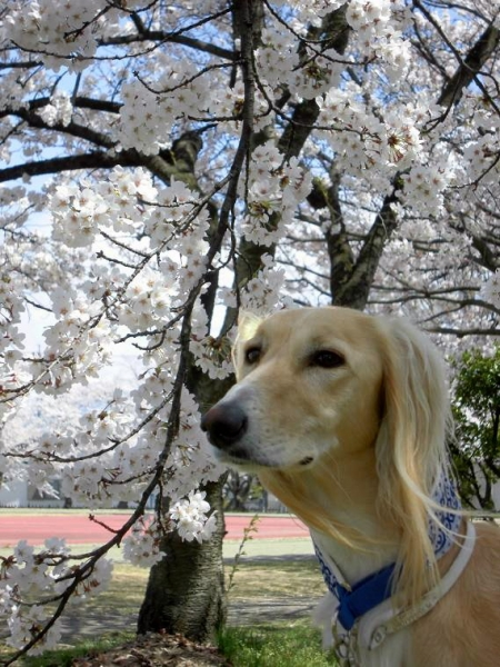 春山と里の桜31