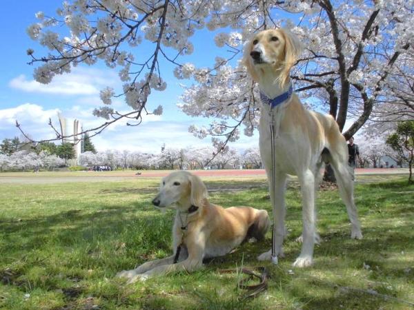春山と里の桜33
