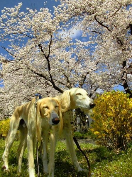 春山と里の桜34