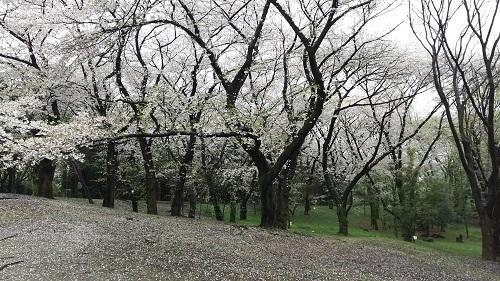 2017年 4月 9日代々木公園1