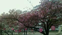 2017-04-14 団地 八重桜