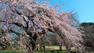 2017年3月22日枝垂れ桜