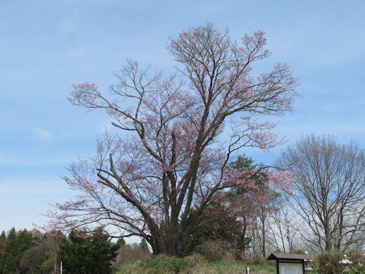地蔵久保 大山桜