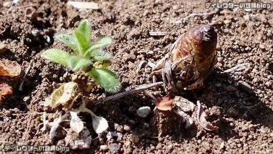 春の足音… アスファルトを突き破るって生える逞しい土筆(つくし)を見つけました