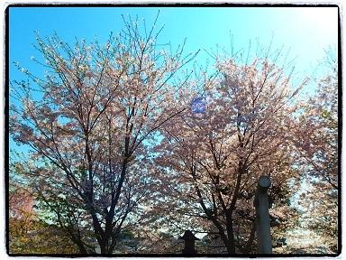 4-13桜2g