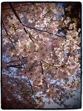 4-13桜4g