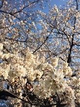 桜ホワイト2017