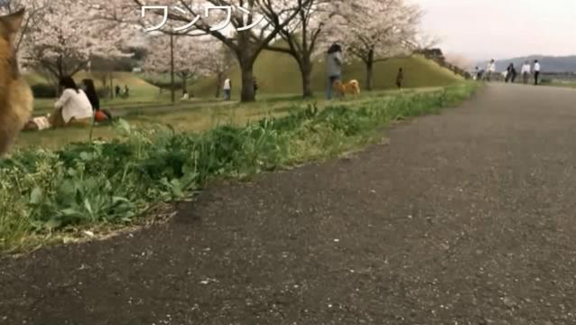 お花見配信-自然公園編-13 ワンちゃんに警戒!