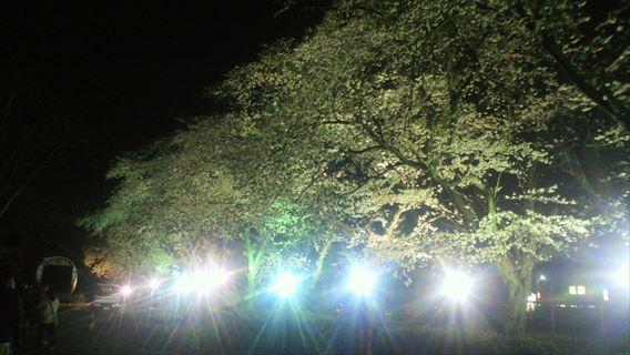松戸駐屯氏の桜並木2