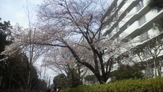 常盤平団地の桜