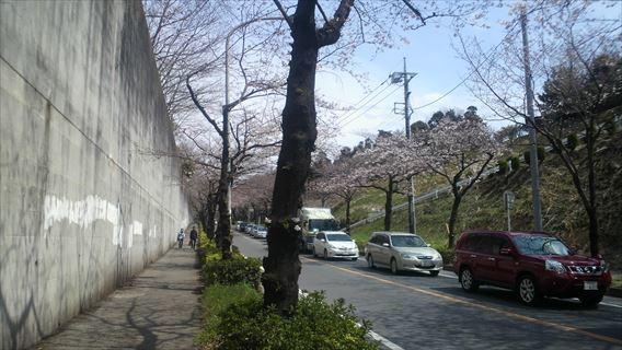 県道51号線の桜並木