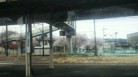 渋川駅前の桜
