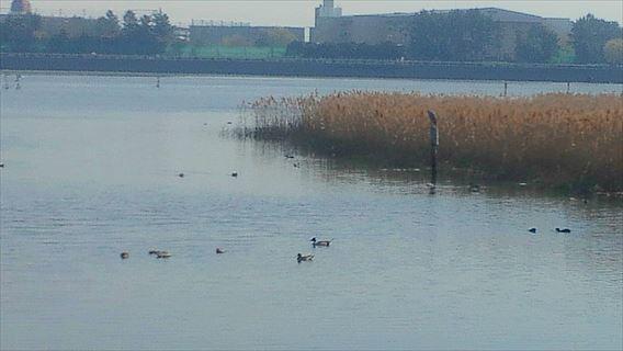 谷津干潟の鳥1
