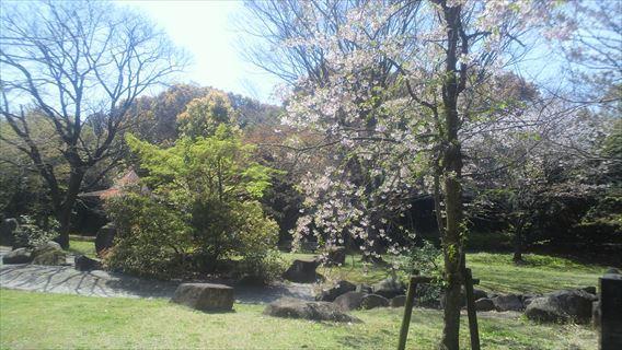 谷津干潟公園の桜