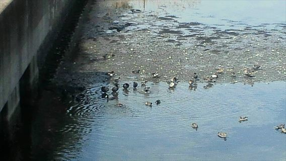 谷津干潟の鳥3