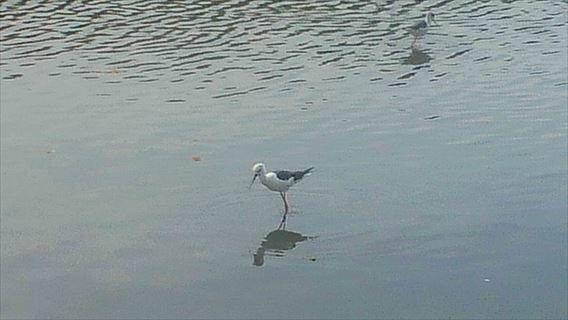 谷津干潟の鳥4