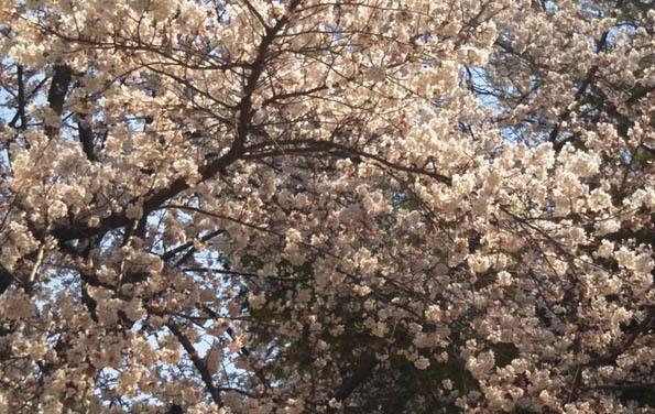 20170405 桜 21㎝ DSC_0158