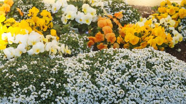 20170403 花盛り 21㎝ DSC08012