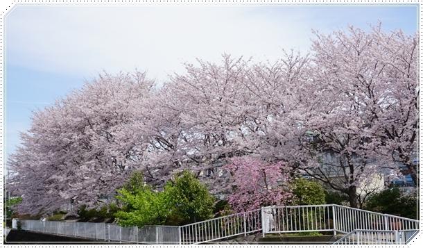 2017-4桜並木