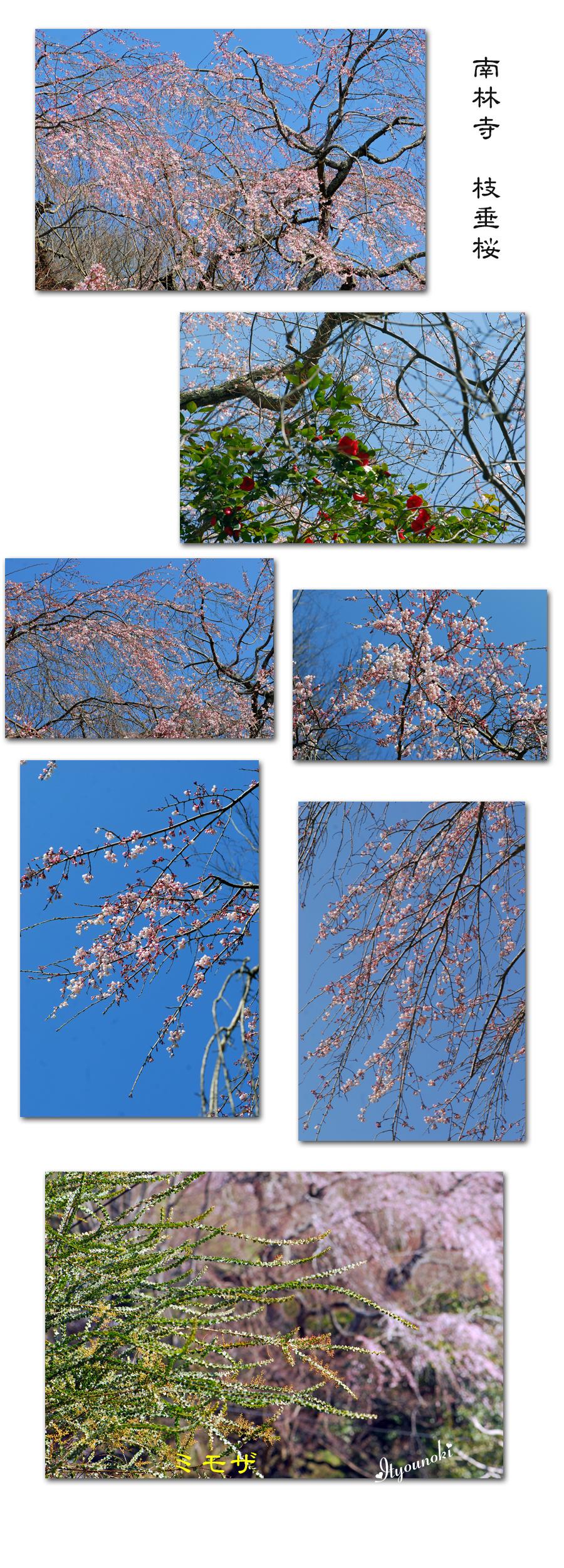 南林寺枝垂桜