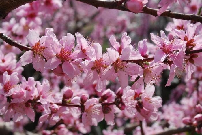 桃の花47