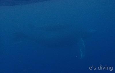 2017.2.26 ザトウクジラ親子水中blog