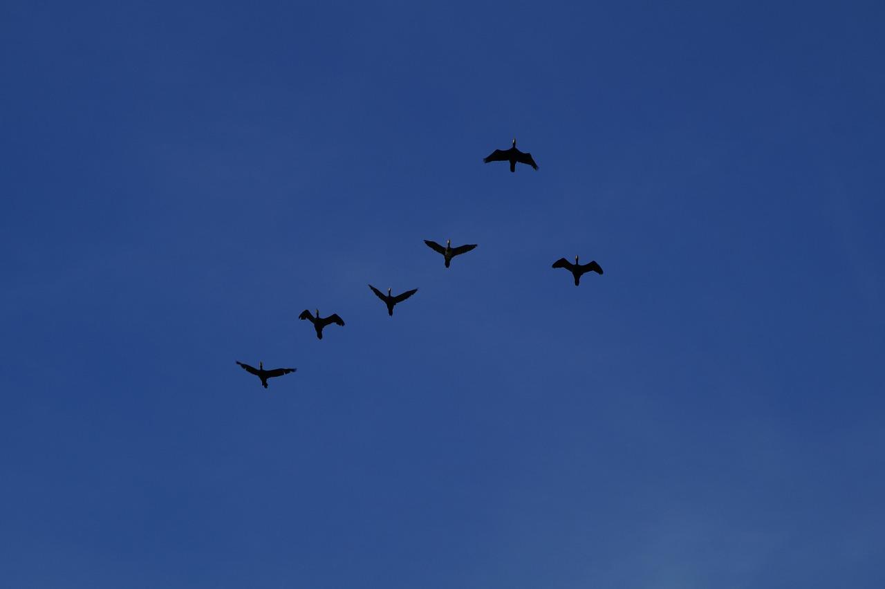 geese-900608_1280.jpg