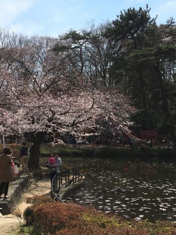 城址公園桜2017 1