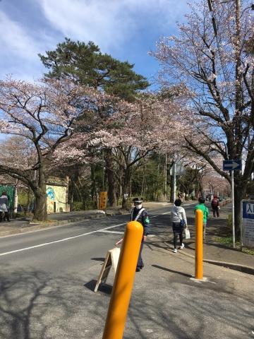 桜トンネル 2017