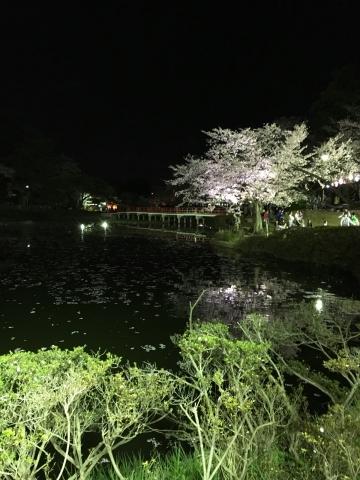 八橋と夜桜