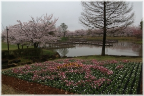 170408E 042花壇&桜@古代ハスP32